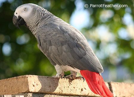 african grey parrot for sale online