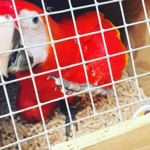 MacaScarlet Macaws for Salew-Parrots-for-sale