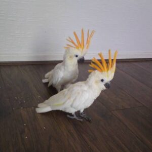 cockatoo baby for sale
